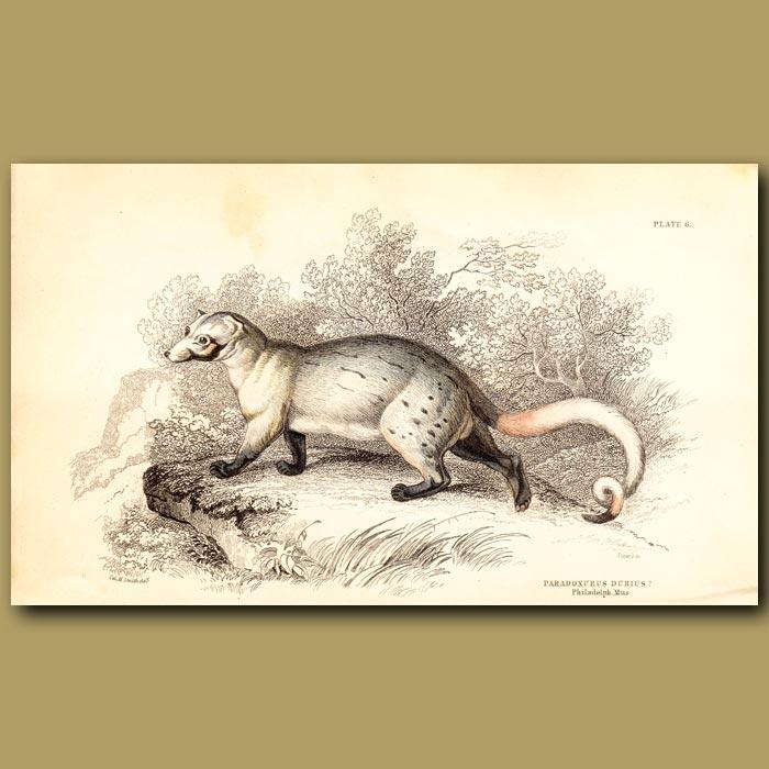 Antique print. Civet