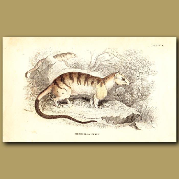 Antique print. Banded Palm Civet