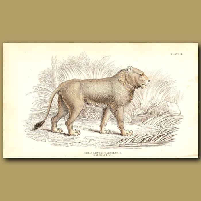 Antique print. Maneless Lion