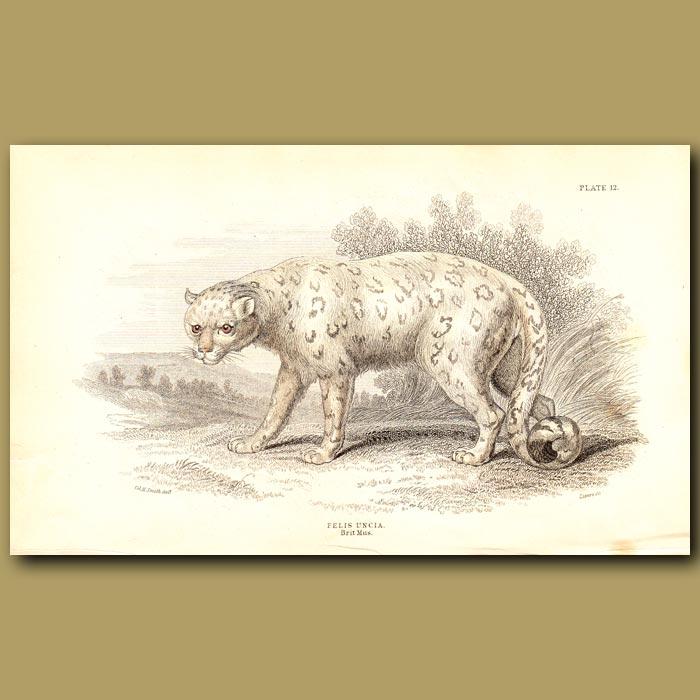 Antique print. Snow Leopard