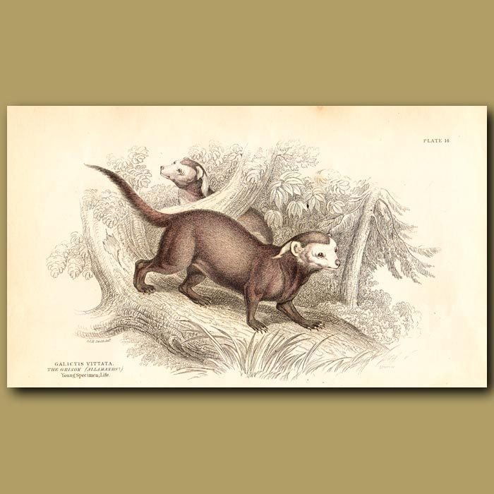 Antique print. Greater Grison (Weasel)
