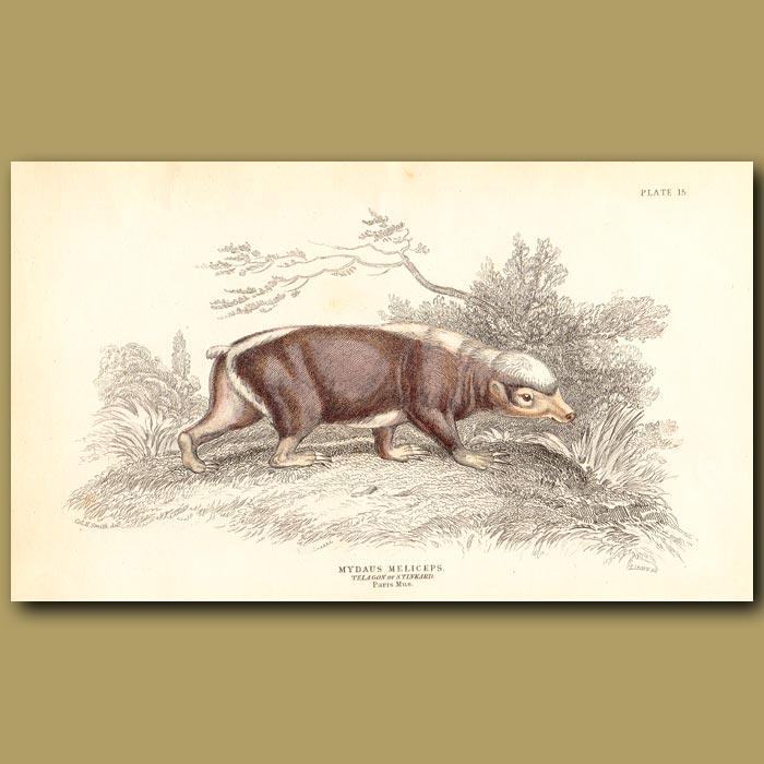 Antique print. Stink Badger