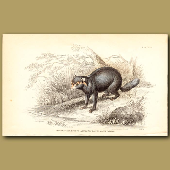 Antique print. Crab-eating Racoon
