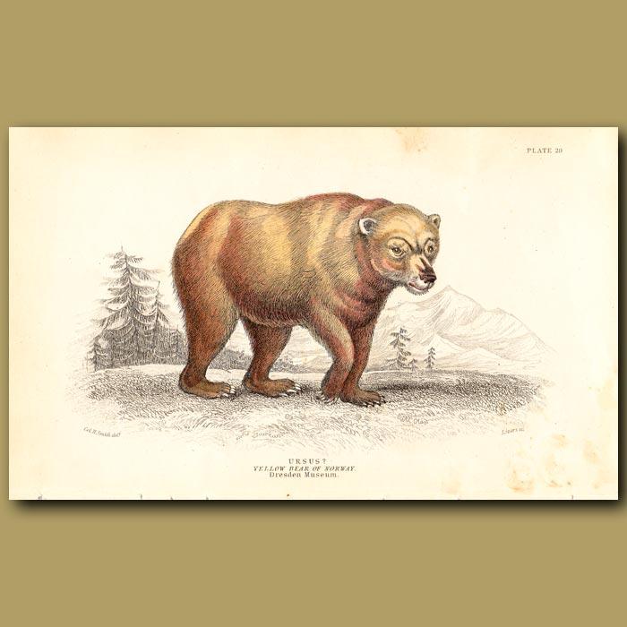Antique print. Yellow Bear of Norway
