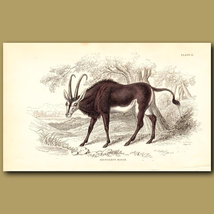 Antique print. Sable Antelope