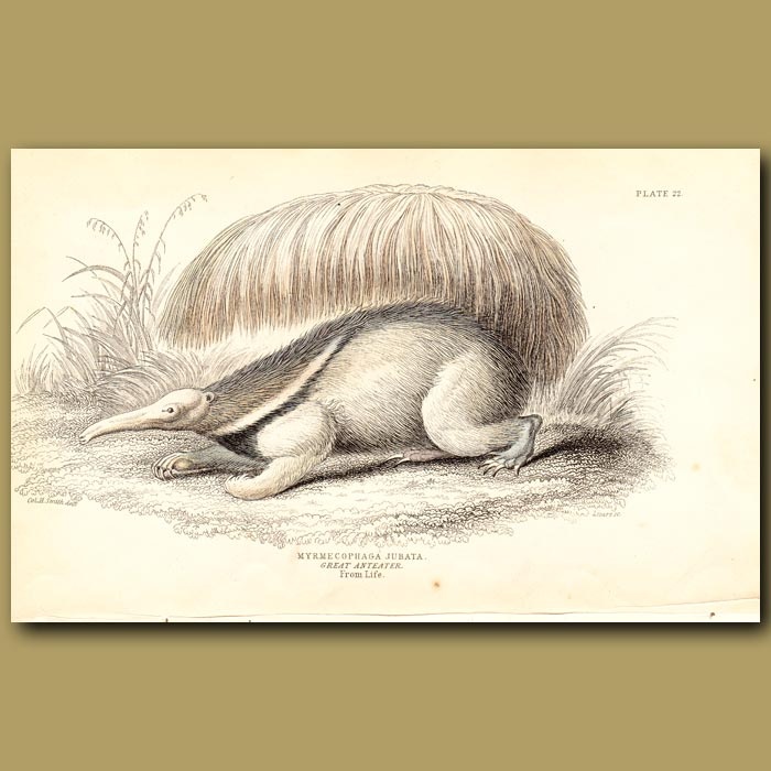 Antique print. Great Anteater