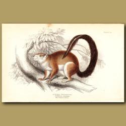 Duvaucels Squirrel