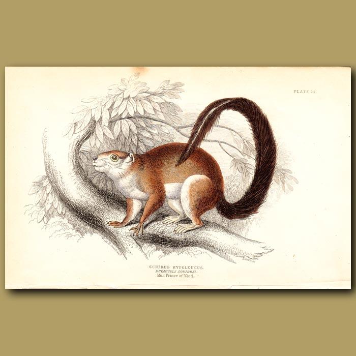 Antique print. Duvaucels Squirrel