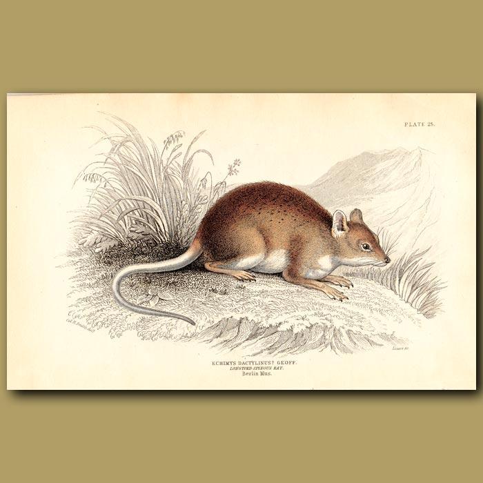 Antique print. Long-toed Spinous Rat
