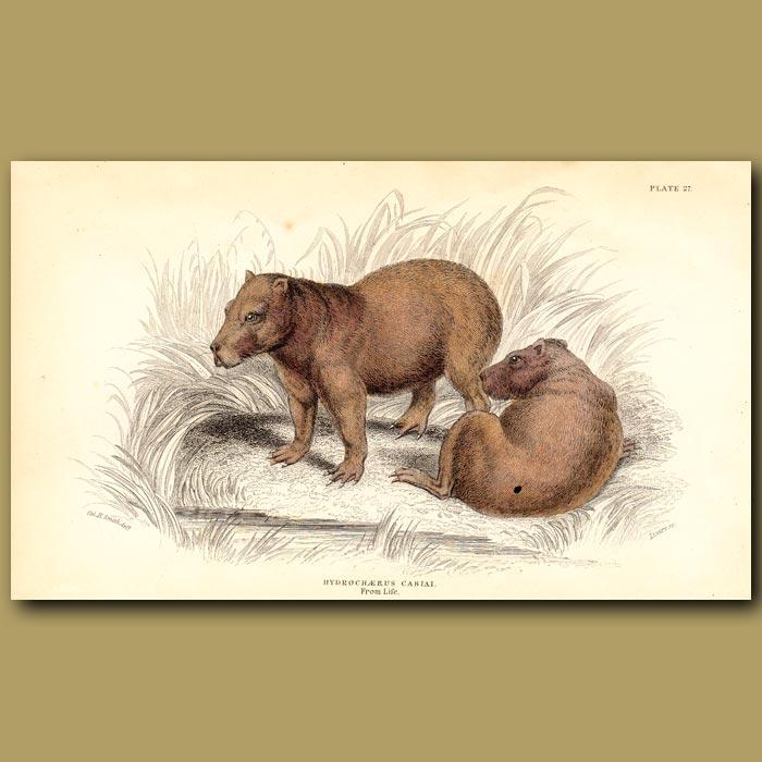 Antique print. Capybara