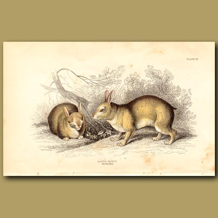 Antique print. Hare