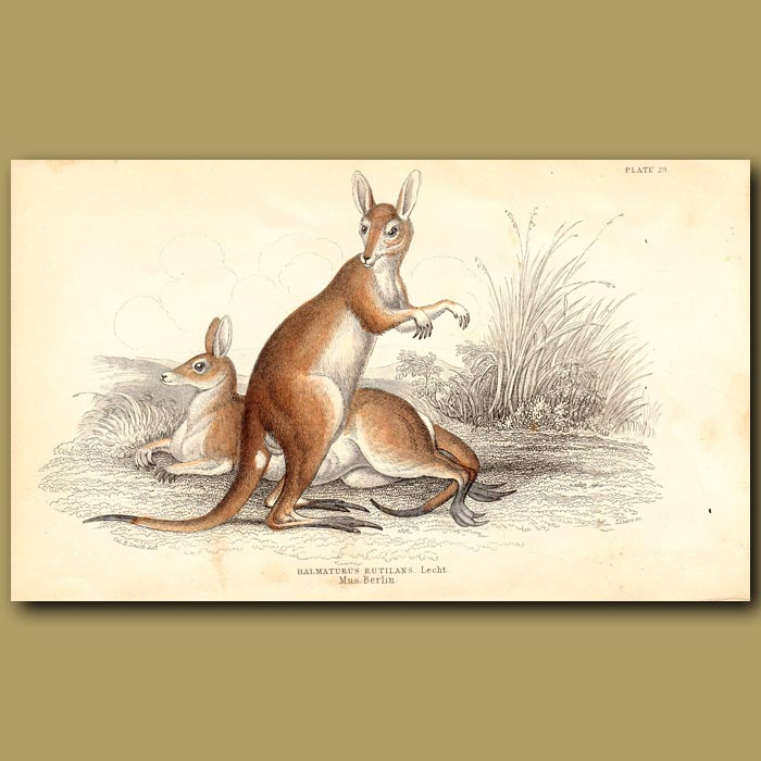 Antique print. Red-necked Wallaby