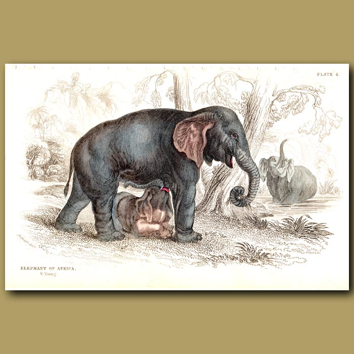 Antique print. Elephant Of Africa And Young