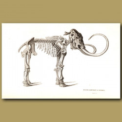 Fossil Elephant (Mammoth) Of Siberia Skeleton