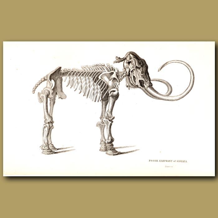 Antique print. Fossil Elephant (Mammoth) Of Siberia Skeleton