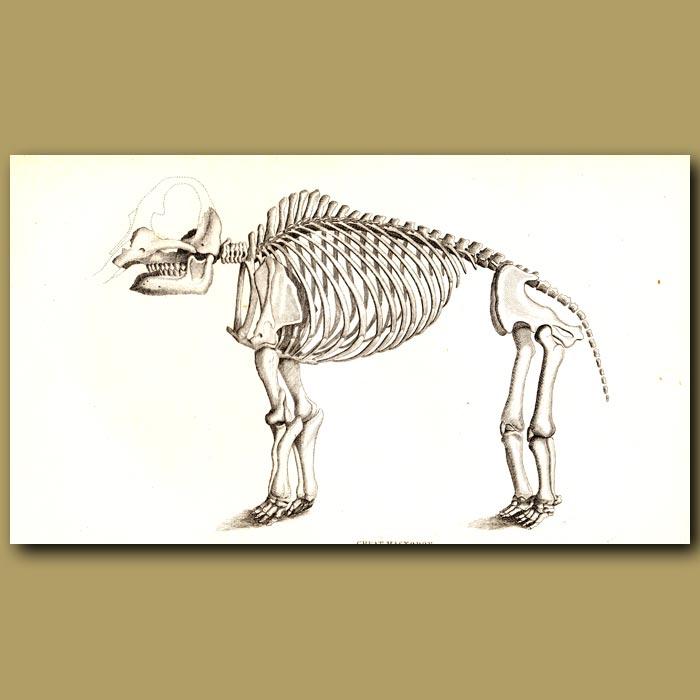 Antique print. Great Mastodon Skeleton
