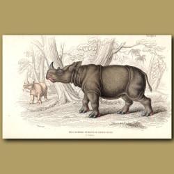 Two-Horned Sumatran Rhinoceros