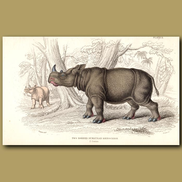 Antique print. Two-Horned Sumatran Rhinoceros
