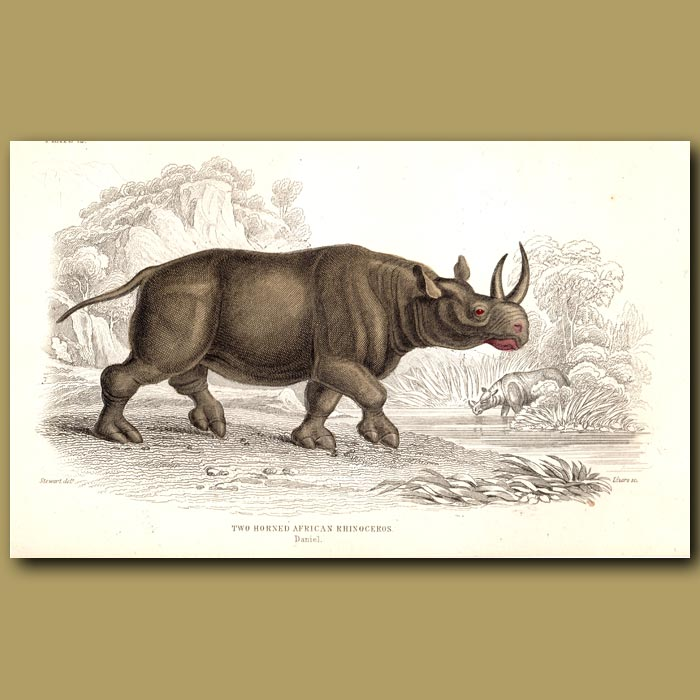 Antique print. Two-Horned African Rhinoceros