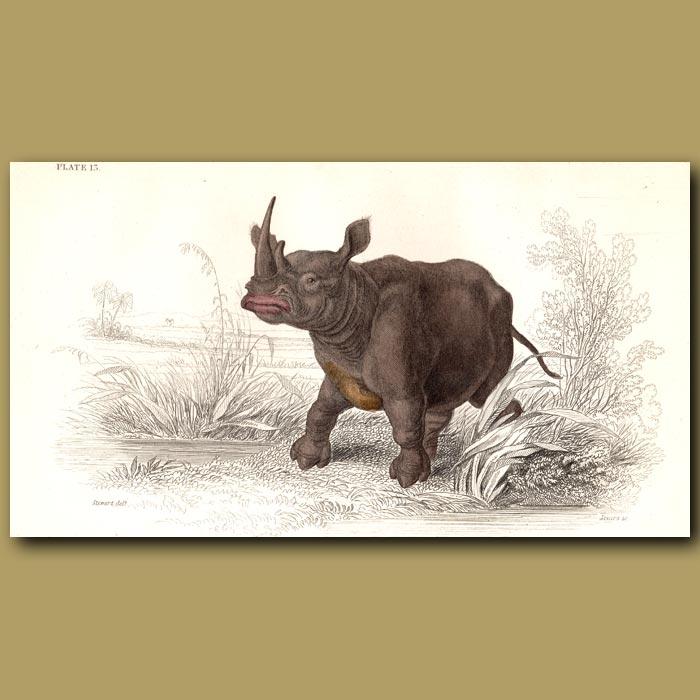 Antique print. Flat-Nosed Rhinoceros