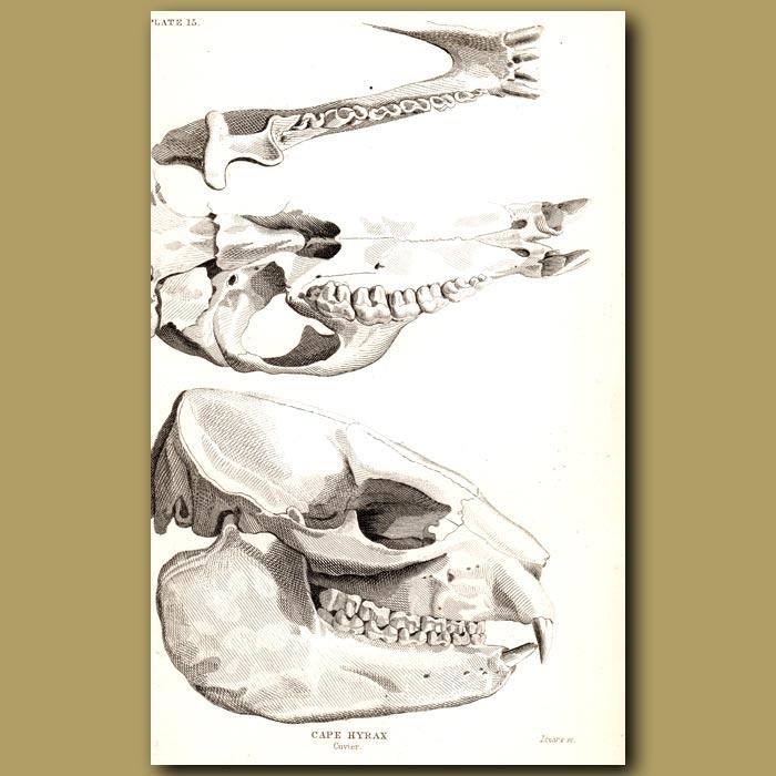 Antique print. Cape Hyrax Skulls
