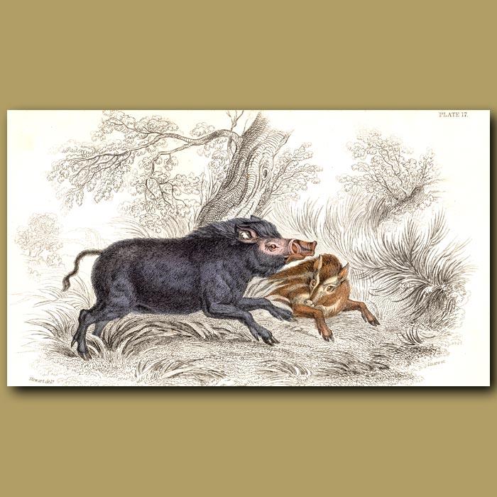 Antique print. Wild Boar