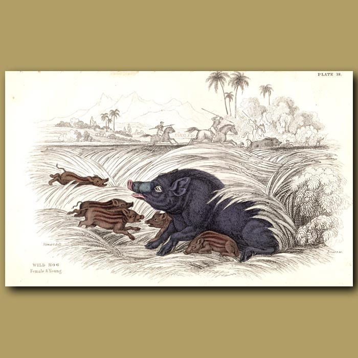 Antique print. Wild Hog Female And Young