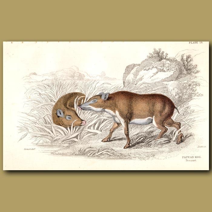 Antique print. Papuan Hog