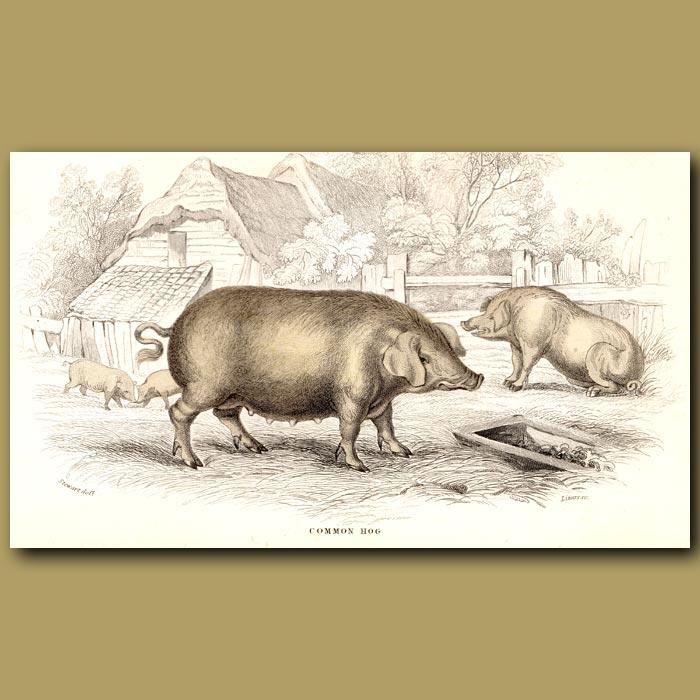 Antique print. Common Hog