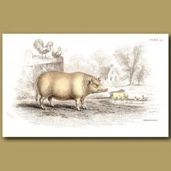 Chinese Hog