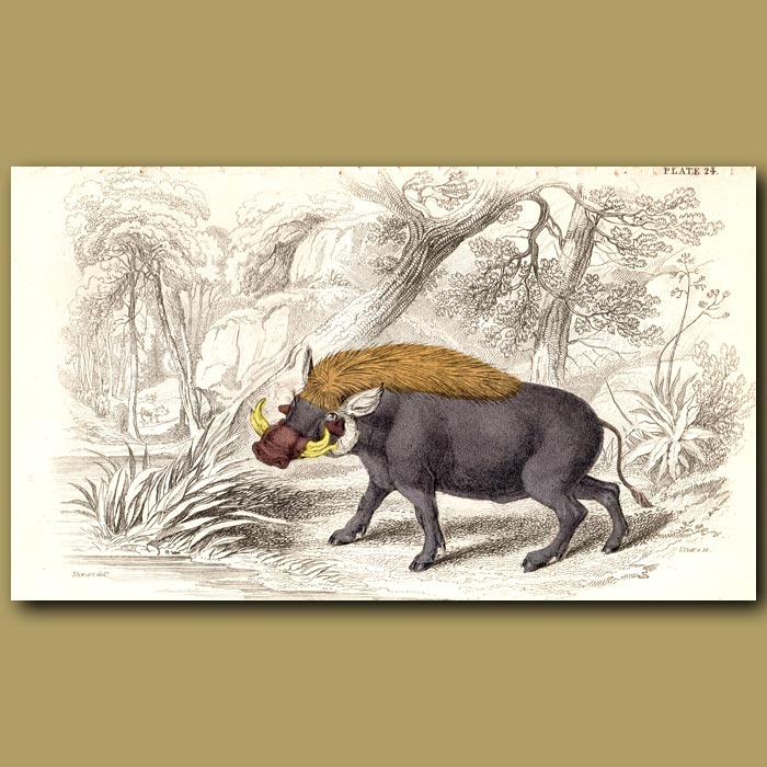Antique print. Warthog
