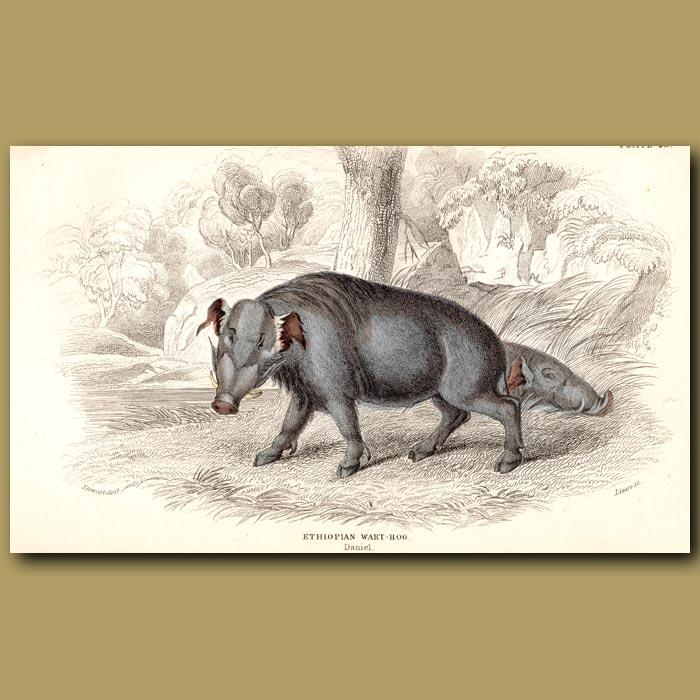 Antique print. Ethiopian Warthog