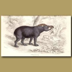 American Tapir