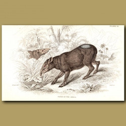 Tapir Of The Andes