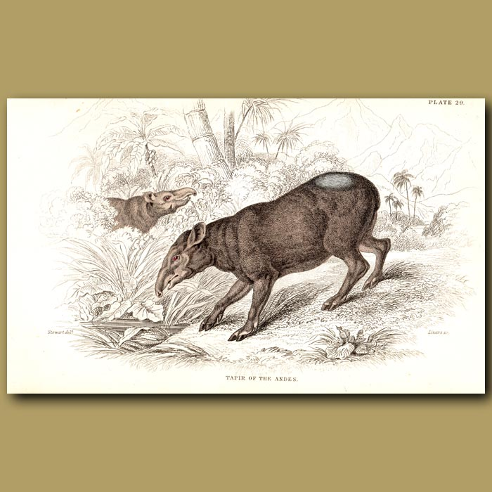 Antique print. Tapir Of The Andes