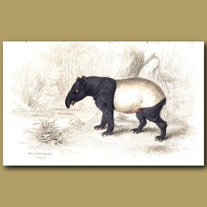 Antique print. Malayan Tapir