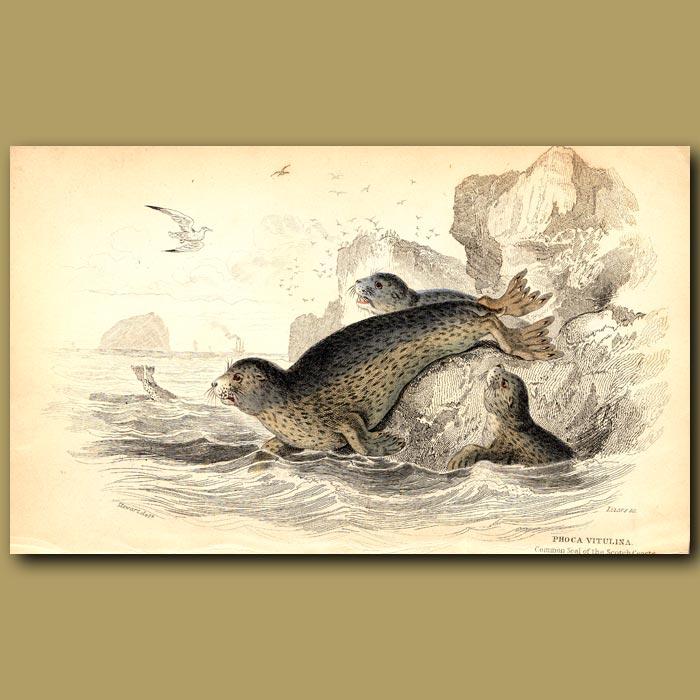 Antique print. Common Seal of the Scottish Coasts