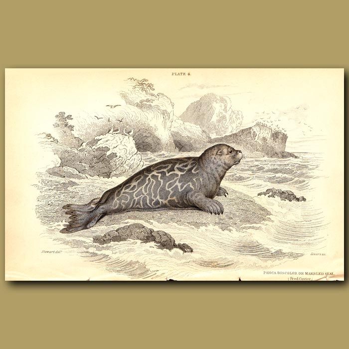 Antique print. Marbled Seal