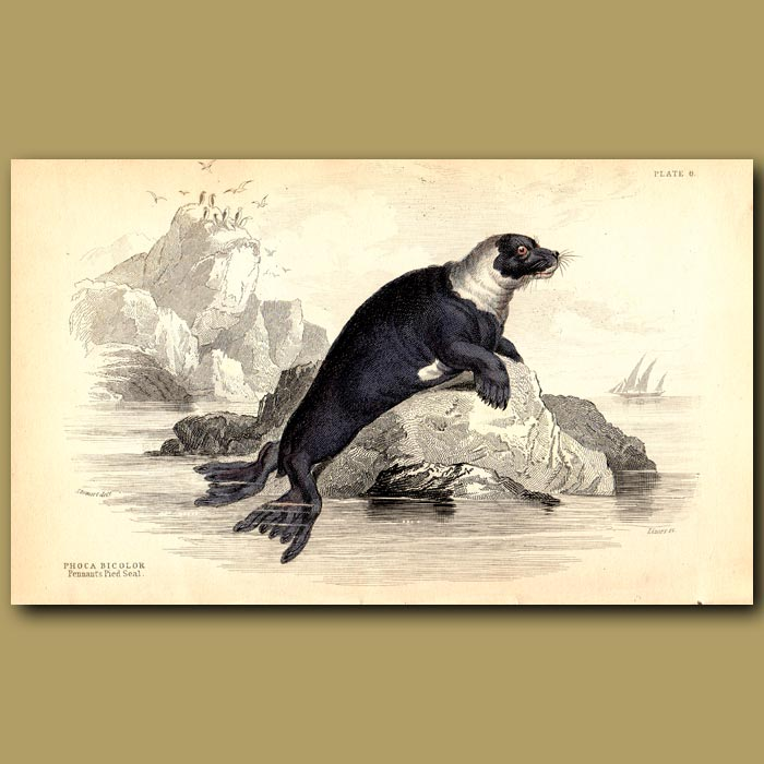 Antique print. Pennant's Pied Seal