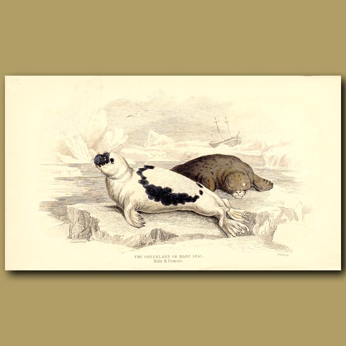 Antique print. Greenland or Harp Seal
