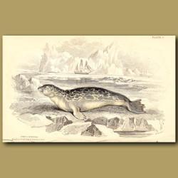 Rough or Felid Seal of Northern Seas