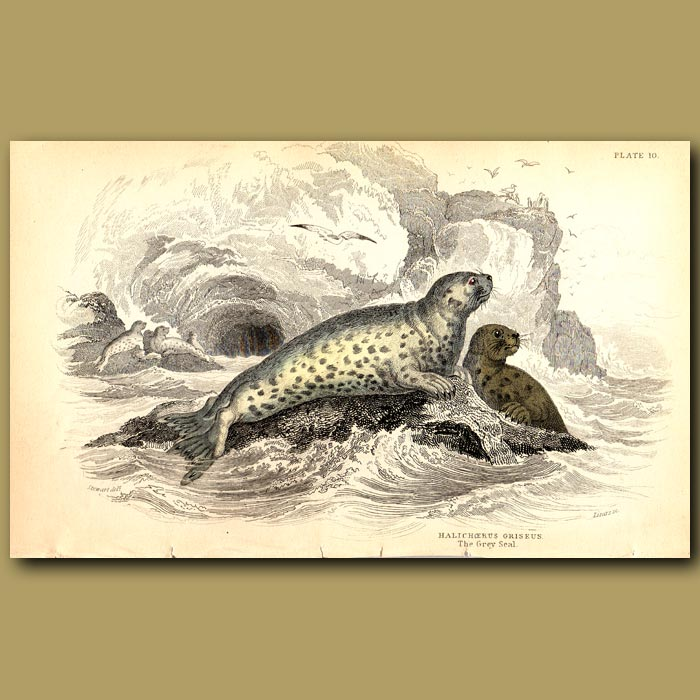 Antique print. Grey Seal