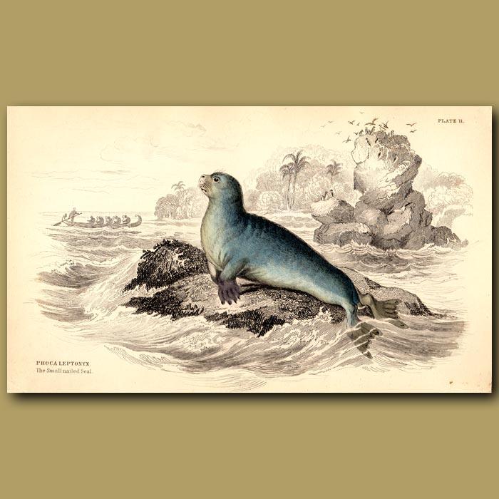 Antique print. Small-nailed Seal