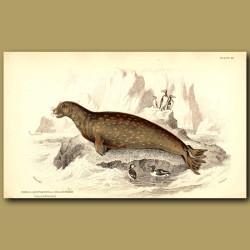 Sea Leopard or Leopard Seal