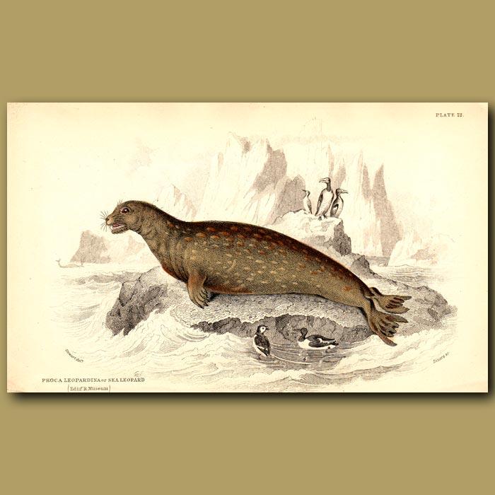Antique print. Sea Leopard or Leopard Seal