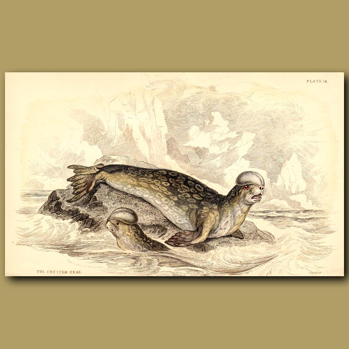 Antique print. Crested Seal