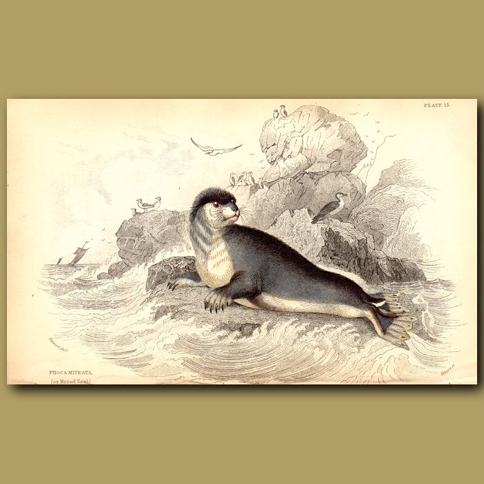 Antique print. Mitred Seal