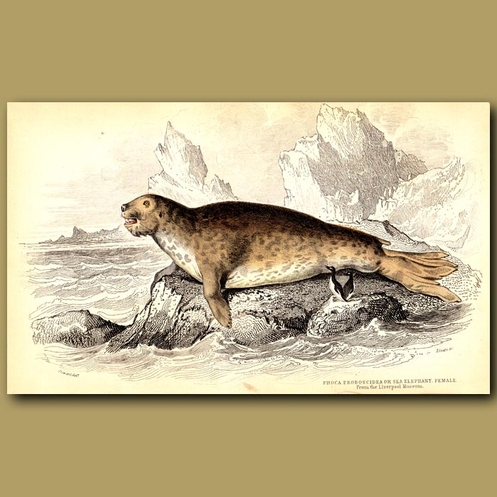 Antique print. Elephant Seal (female)