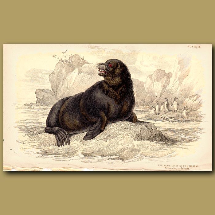 Antique print. Sea Lion of the South Seas