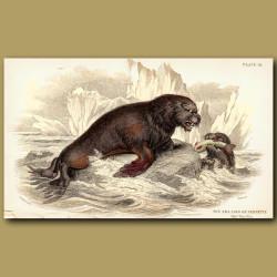 Sea Lion of Pernetty